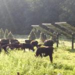 cows & solar panels